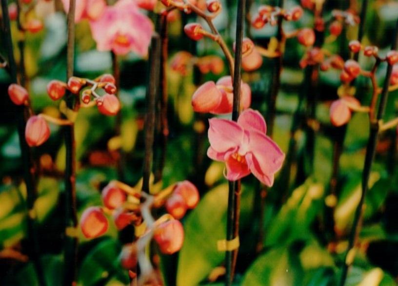 Phalaenopsis potorchidee