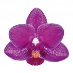 catalina-bloem