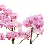 Anthura roze gestreept bloemtakken web