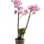 Anthura roze gestreept plant web