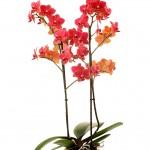 FL201822 plant web