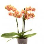 Grazia plant web